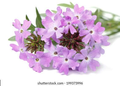 delicate purple flowers verbena isolated on white background closeup