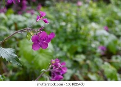 Delicate purple honesty flowers caught in the rain, against a rich green garden background
