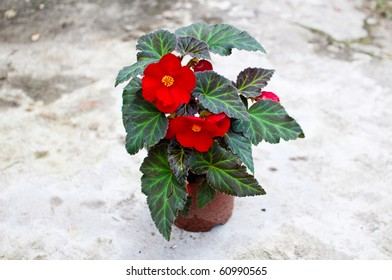 Delicate red begonia (Begoniaceae) flower in a planting pot