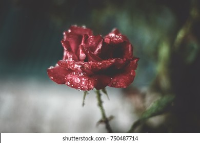 Delicate rose in bloom during a rainstorm. Fine art photography with a mix of reality.