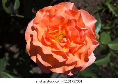 Delicate rose closeup in garden