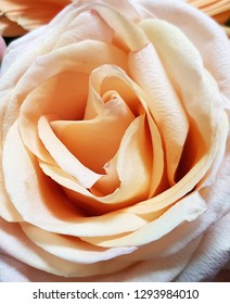 Delicate rose flower pastel peach tone for greeting card or calendar international women's day is depicted close-up