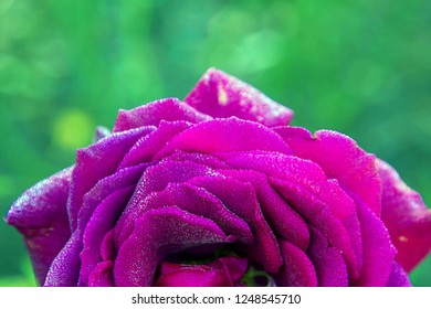 Delicate rose petals covered with small drops of water. Floral background or texture. A huge terry purple rose in dew drops. Autumn morning. Floral background or texture.