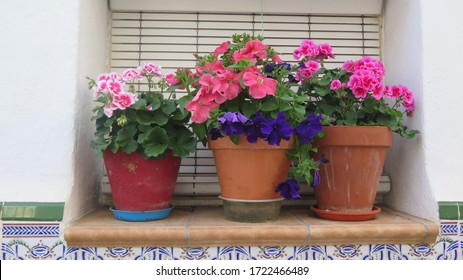 Delicate scented geranium and petunia plants on window sill without security bars in Andalusian village