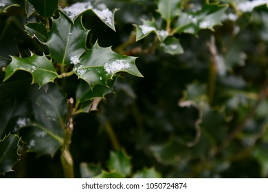 Delicate snowflakes on dark green holly leaves with sharp points