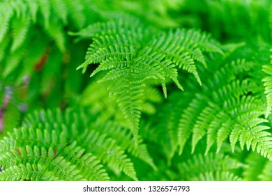 Delicate soft leaves of a woodland fern.