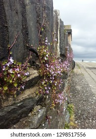 Delicate spring flowers line the historical wall in Londonderry, Ireland