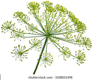 a delicate umbrella flower of a garden herb plant Dill, used in European kitchen cooking, its leaves are aromatic and are used to flavor many foods like salads isolated on white