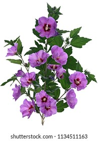 Delicate violet Hibiscus flowers on branches, isolated on white background.