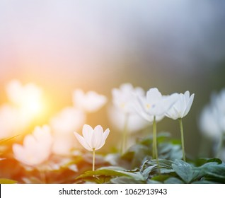 delicate white anemone flowers in a clearing in a forest. Spring beautiful background.