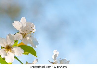 Delicate white cherry blossoms against light blue spring sky; Blooming twig of fruit tree; Spring greetings