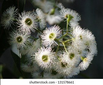 Delicate white flowers of  Australian eucalyptus species blossom  attracting native birds and bees to the sweet sticky nectar.
