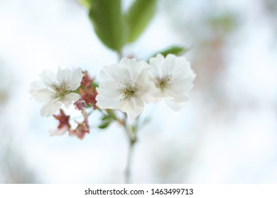 Delicate white flowers and buds on a thin stalk of an ornamental plant