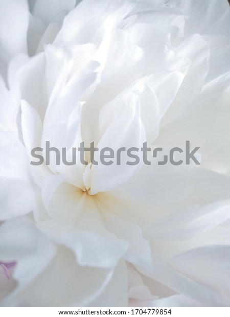 Delicate white peony flower with petals in macro for floral background