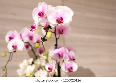 Delicate White and Pink Orchids on Display at Botanic Gardens in Singapore