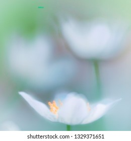 Delicate white spring wild flower. Anemone nemerosa, a soft focus image with shallow DOF.