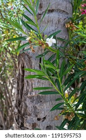 A delicate white tropical flower background image against a palm tree trunk in Princess Cays in the Bahamas.