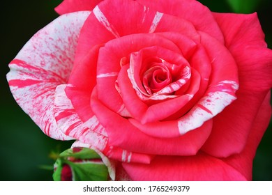 Delicate white-pink flower and a blooming rose bud of the Philately variety. Blurred background. Close up shot from above. Beautiful summer picture.