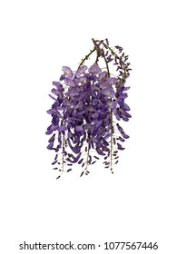 Delicate Wisteria blossom, isolated on white background.