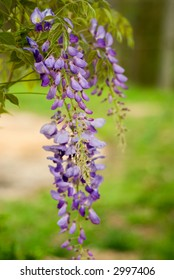 Delicate Wisteria blossoms photographed with selective focus.