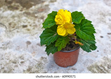 Delicate yellow begonia (Begoniaceae) flower in a planting pot
