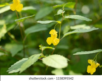 The delicate yellow flower of the Pale Jewelweed (Impatiens pallida) plant growing in the woods