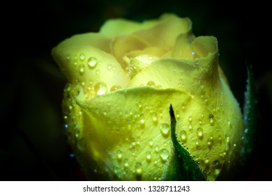 delicate yellow rose with drops of dew