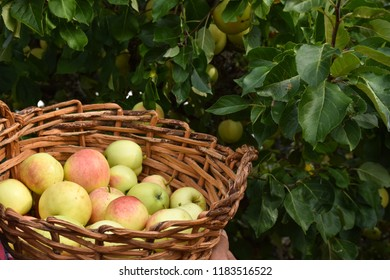 Delicious apples in a basket in front of atree with growing apples
