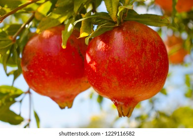 Delicious autumn fruit. Two large Spanish red pomegranates suspended on the branch of the pomegranate.