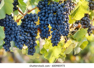 Delicious bunches of ripe red wine grapes on vine, green leaves background.