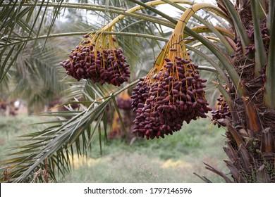 Köstliche, frische Daten, die auf einer Palme wachsen
