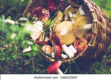 Delicious freshly picked wild mushrooms from the local forest: Bolete, russule, birch bolete and weeping bolete mushrooms in a wicker basket on a green grass