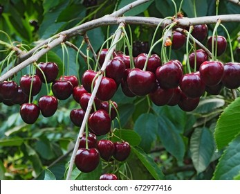 Delicious juicy cherries  hanging in the tree