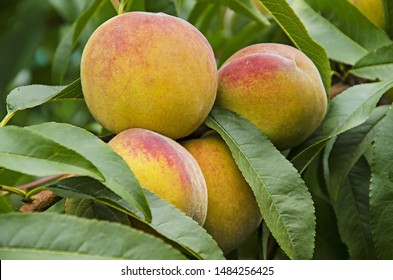 Delicious peach fruits on a tree. Close-up.