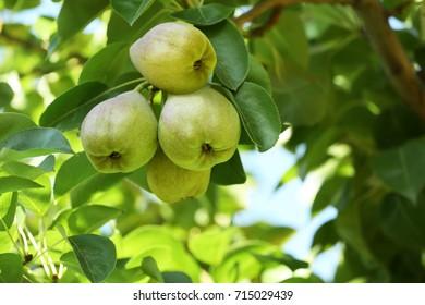 Delicious pears on branch in garden, closeup