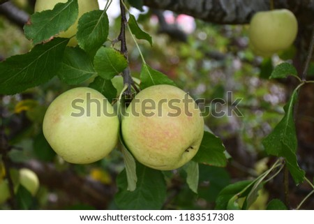 Delicious ripe apples in yellow and red colors hanging in an apple tree