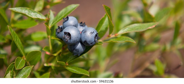 Delicious wild blueberries on plant - Close-up with green leafs in background.