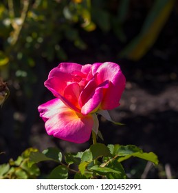 Deliciously  spicy fragranced  bright  candy pink rose blooming in autumn which  is showy and ornamental adding a  glorious splash of deeper tones to the garden landscape.