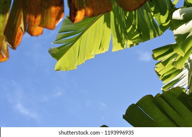 Delight atmosphere of green banana leaves in morning light with blue sky background. Young, midlife and aged leaves  shred by wind in the night. Life goes on.