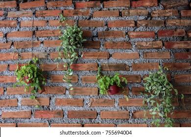 Delightful beetle peperomia  hang on a brick wall