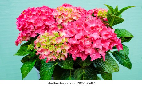 The delightful Hortensia hydrangea on the patio. Scientific name of this flower is Hydrangea macrophylla. The plant blooms for a long time and is easy to care