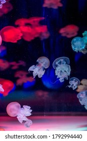 Delightful raspberry poisonous neon jellyfish in ultra-blue water, close-up.