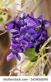 The delightful violets of Tourettes sur Loup (France) where the Festival of violets takes place ...