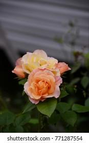 Della Balfour Rose (Royal Pageant Rose)