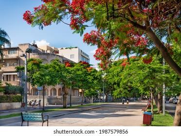 Delonis ( Poinciana) trees  blooming on Boulevard Rothschild in Tel Aviv.