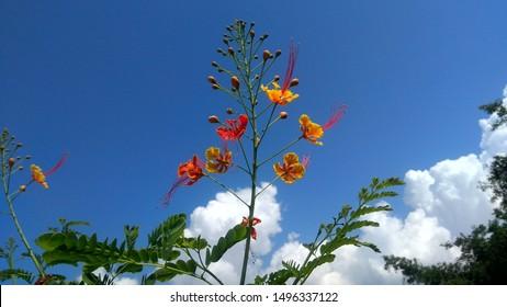 Delonix regia a Beautiful Indian Flowers