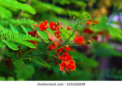 Delonix regia or flame tree known as Gulmohar in Indian continent. Tree is average in size and form a beautiful canopy with bright red flowers. It is grow as ornamental tree.