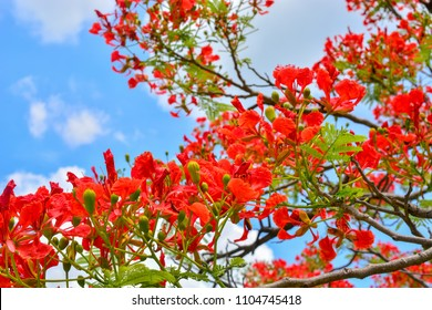 Delonix regia flower (Royal Poinciana, Flamboyant Tree, Flame Tree, Peacock Flower, Gulmohar) in bloom.