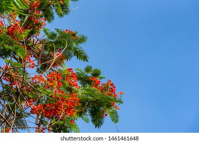 Delonix regia flower (Royal Poinciana, Flamboyant Tree, Flame Tree, Peacock Flower, Gulmohar) in bloom during summer in park of Delhi.