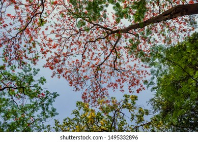 Delonix regia flower (Royal Poinciana, Flamboyant Tree, Flame Tree, Peacock Flower, Gulmohar) in bloom during summer with blue sky background in park of Delhi.